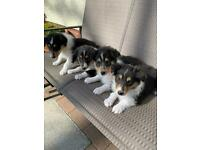 🐶 Beautiful Rough Collie Pups Looking For Their Forever Home🐶