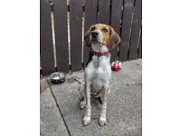 Beagle Pup £500