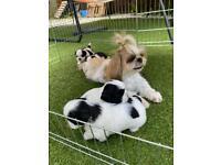 Imperia Shithzu Puppies