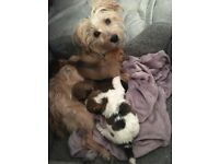 Jack russell cross terrier pups for sale