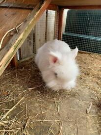 Lion head rabbits and accessories