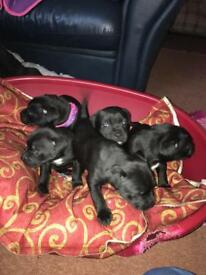 Staffie pups