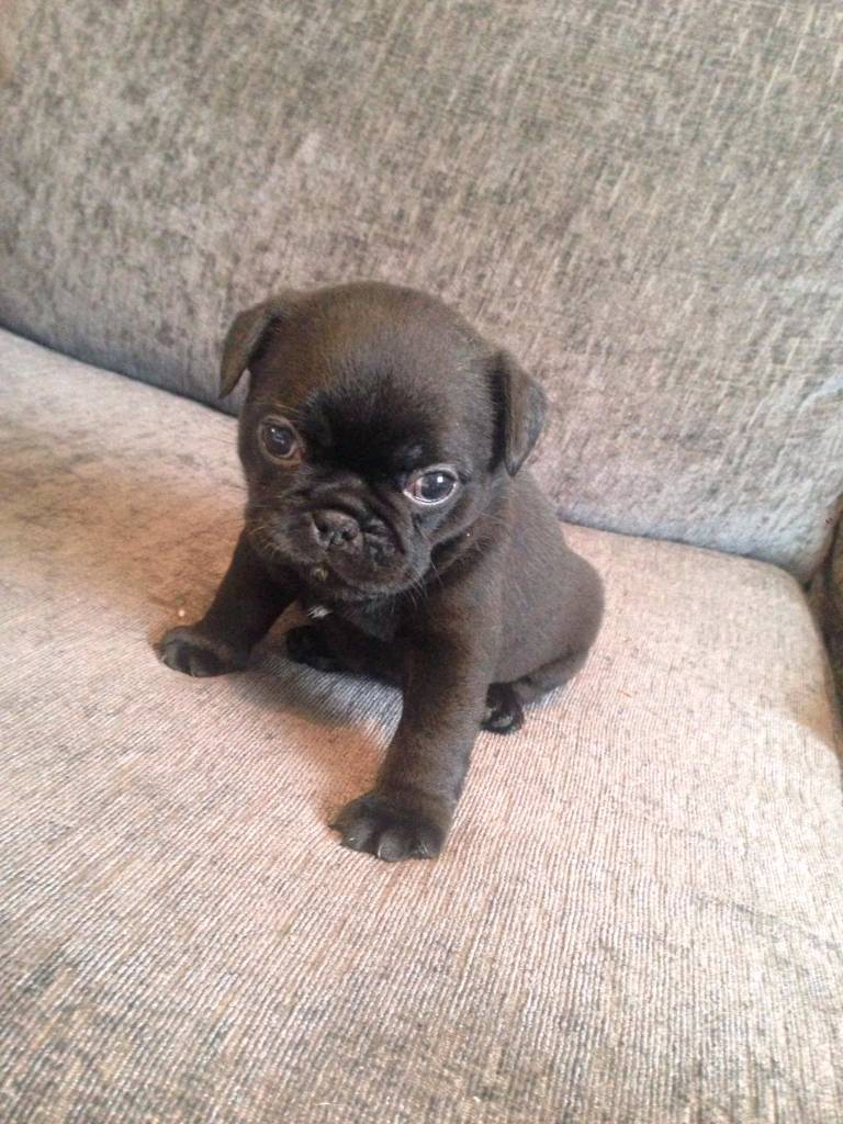 French Bulldog X Pug Puppies For Sale Frug In Heywood