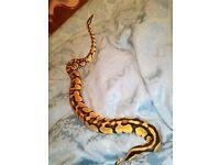 Male ball python for sale