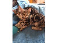 Gorgeous Tabby Bengal x Kittens for Lovely Homes