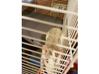 2 baby male Rats looking for loving home