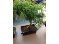 Bonsai tree and larch tree