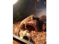 2.5 year old male bearded dragon and full set up