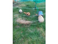3 guinea pig boars for sale.