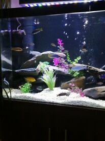 Fish adult mbuna for sale NEED SPACE NOW £120