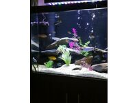 Fish adult mbuna for sale NEED SPACE NOW £100