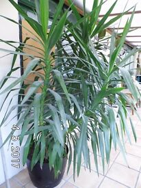 Stunning Yucca Tree - perfect for Conservatory, foyer or Office.