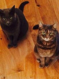2 Cats - Russian Blue and Siamese X