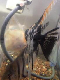 Angel fishes £20