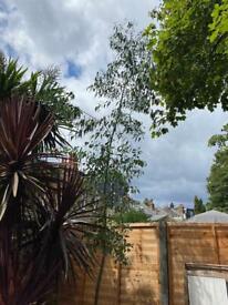 Eucalyptus tree c. 5m