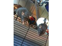 2 Female Dumbo Rats, 4 months old, plus cage & supplies