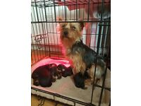 KC reg mini yorkshire puppies for sale
