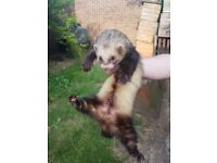Polcat Jack Ferret for Sale - £25