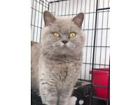 Male & female British blue short hair cats for sale young adults