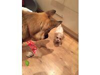 Cavachon Puppy Boy 8 Wks Old
