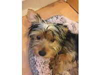 Yorkshire terrier its she more info in description