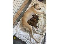 Well bred lurcher pups