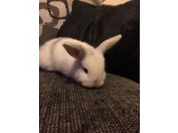 Baby Buck Rabbit ready 22nd of Feb. White with grey markings.