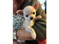 Ultra tiny teacup Chihuahua