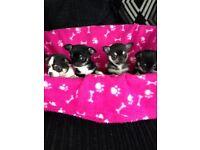 Chihuahua puppies 🐶🐾