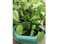 Naga Chilli Plant (Very hot) fresh garden