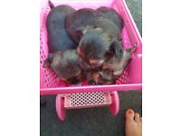 Yorkshire terrier tea cup puppys