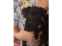 Patterdale terriers puppies for sale