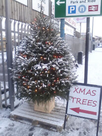 Real Christmas Trees For Sale!