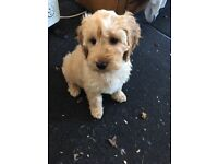 F1 Cockapoo Puppies from show bred Cocker Spaniel