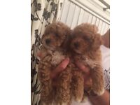 Absolutely gorgeous Teddy poochon Puppies