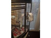 African grey handreared tame and talking with cage and hatch certificate