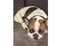 For sale 2 years old french bulldog