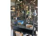 Four budgies plus large cage