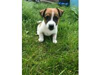 10 weeks old short leg jack Russell puppy