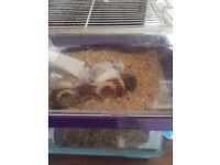 Baby Russian dwarf hamsters £5each