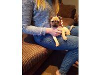 9 week old pug puppy