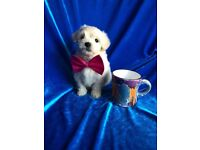 Maltipoo puppy ready now maltese poodle small cute dog non moulting cute cuddly teddy bear dogs