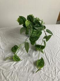 Silver pothos / house plant