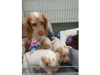 Ready to Leave Now! Health Tested Cocker Spaniel Puppies