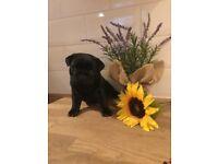 Kc registered black pug puppies for sale