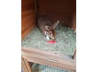 2 Rabbits and hutches for sale