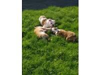 Kc reg british bulldog pups