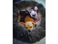 Chawawa puppy miniature