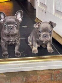 4 Gorgeous Boy French bulldog puppies left £1300