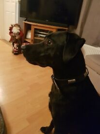 Lab cross lurcher needing a forever home